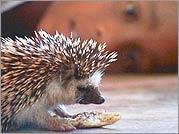 Boys of Baraka - hedgehog