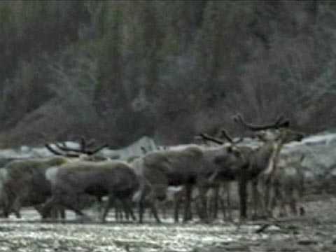 Protecting the Caribou Calving Grounds (Clip 4 of 4)