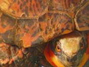 exotic turtle
