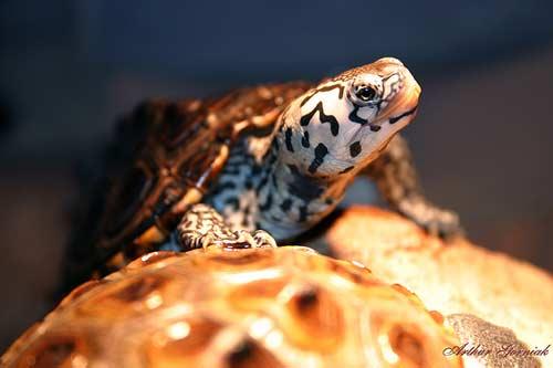 Diamondback turtle