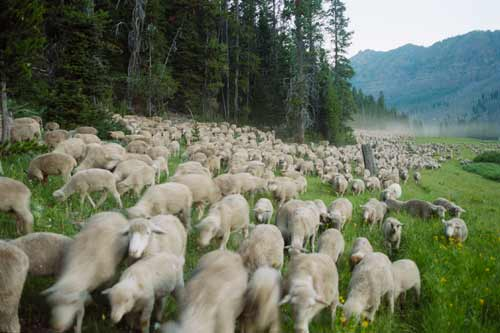 Sheep make their way to summer pasture in the documentary Sweetgrass