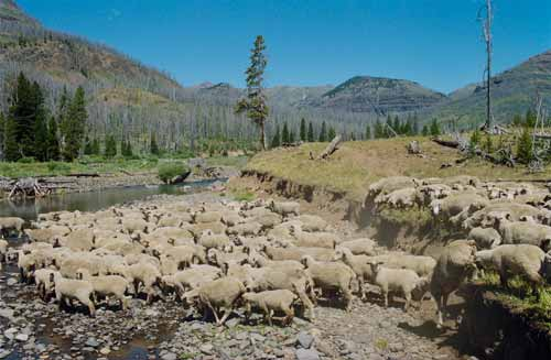 Sheep cross a stream in the documentary Sweetgrass