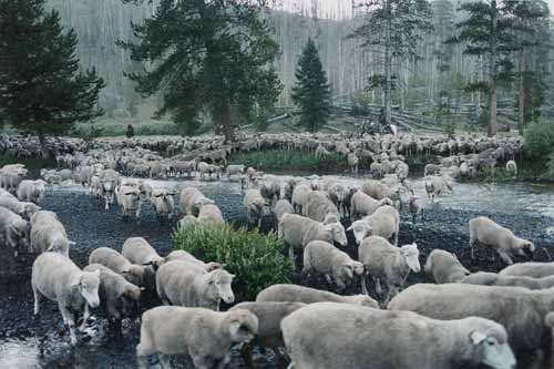 Sheep travel to summer pasture in the documentary Sweetgrass